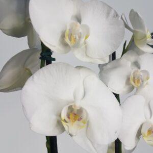 Orquídea Colibri